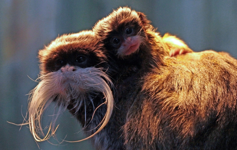 Mother and child Tamarin monkeys