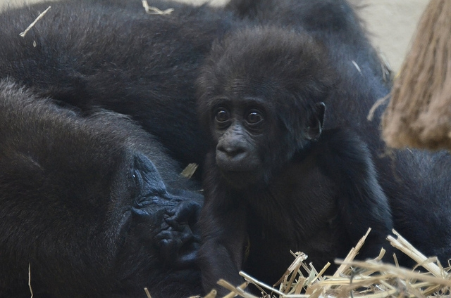 Gorilla-baby-Apenheul-2