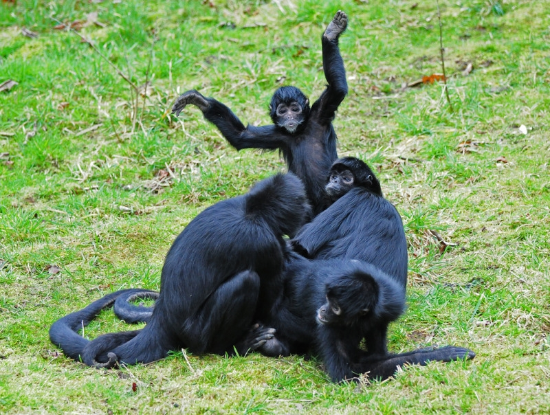 Colombian Black-Faced Spider Monkey Family Group at Chester Zoo