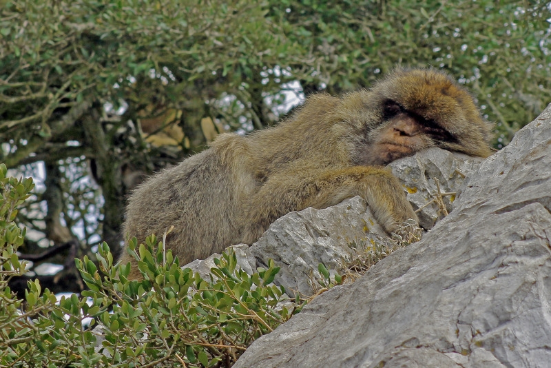 Barbary macaque lying on a rock in Gibraltar