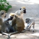 Vervet Monkey Family Group in Kenya