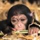 Monkey hiding in the hay