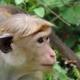 Toque macaque in Dambella
