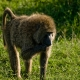 Olive-baboon-eating-grass