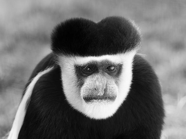 Mantled-Guereza-Monkey