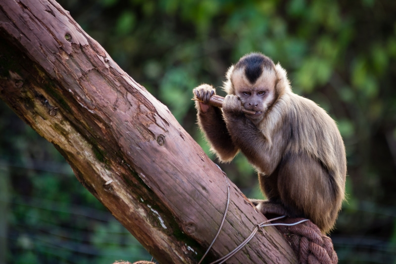 Capuchin Monkey playing the flute