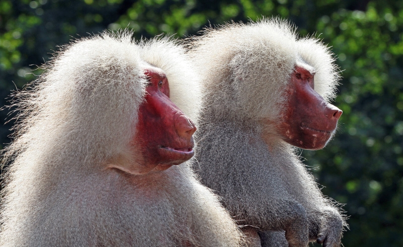 Two Baboons watching the world go by