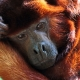 Howler monkey wrapped in his own arms
