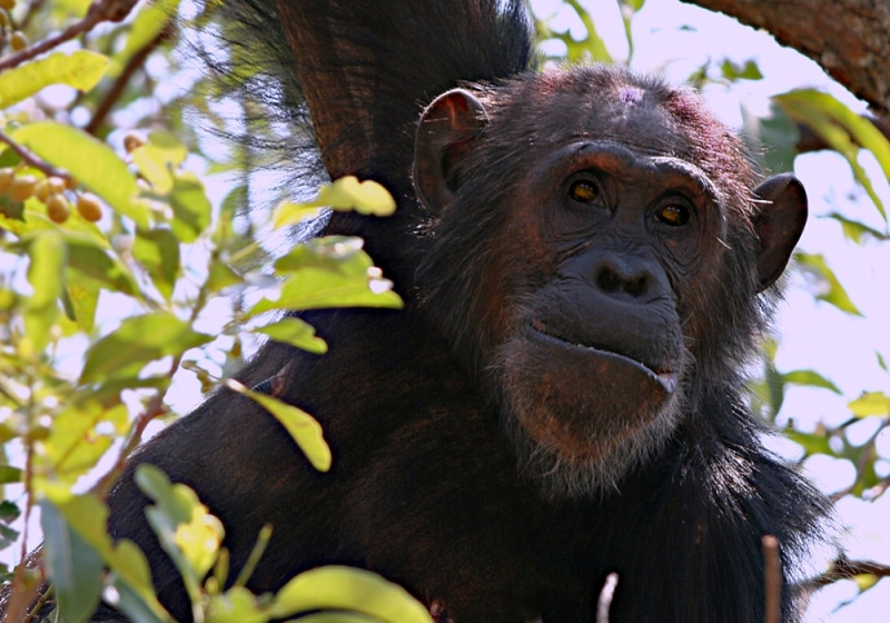 This is a wild chimp in Gombe
