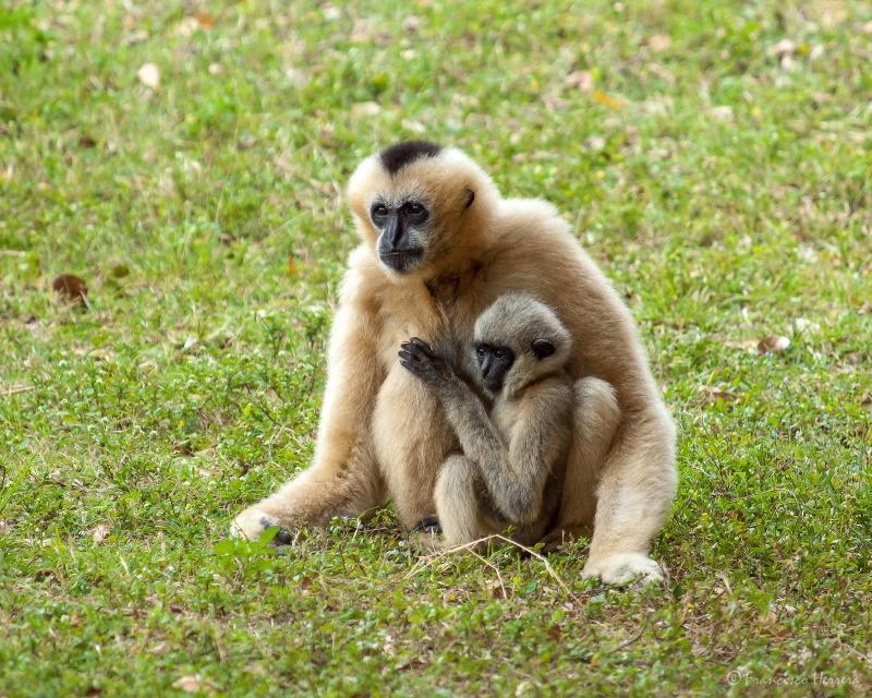 White-cheeked Gibbon at Zoo Miami
