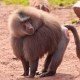 Crafty look of a Baboon
