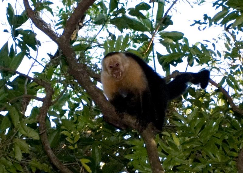 Costa Rican Monkey in a tree