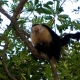 Costa Rican Monkey in a tree