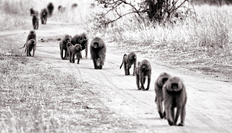 Family of Baboons on the road