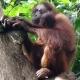 Protecting the second born Orangutan