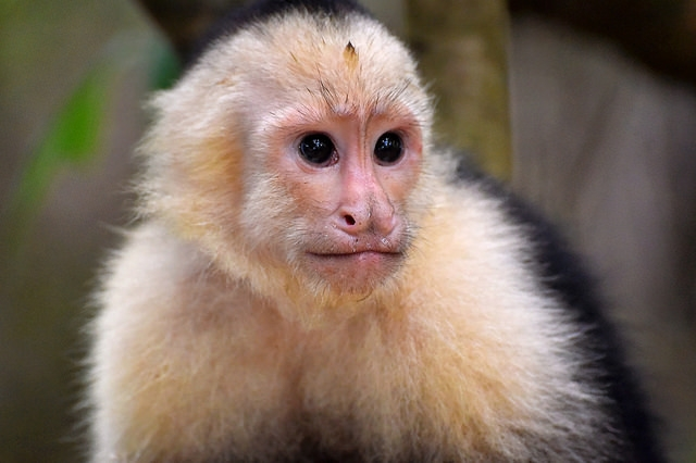 White-faced Capuchin near the Manuel Antonio