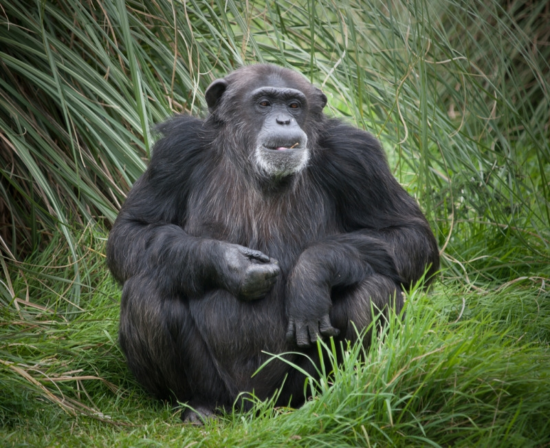 Older Chimpanzee at Whipsnade Zoo