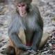 Kathmandu Swayambhu Macaque Monkey