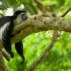 Black and white Colobus monkey Sleeping