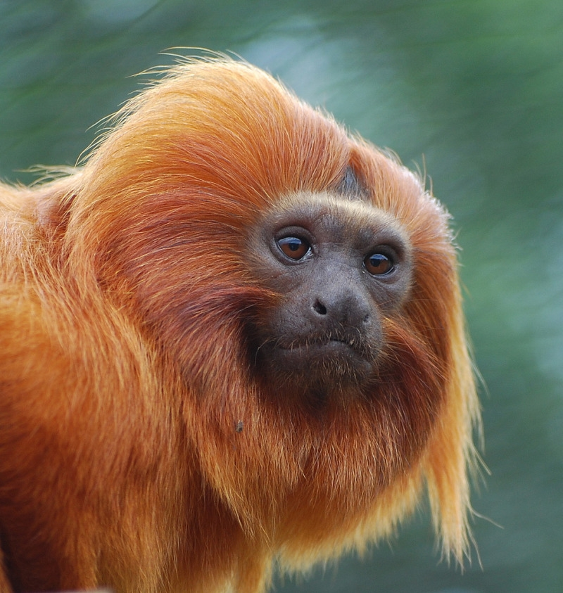 Golden Lion Tamarin Monkey at Winchester zoo