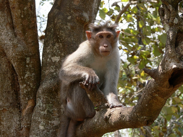 Bonnet-Macaque-India