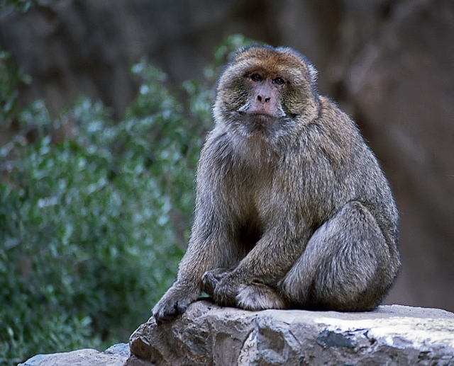 Barbary-Macaque-1