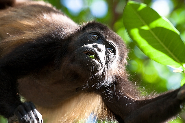 Mantled-Howler-Monkey-15