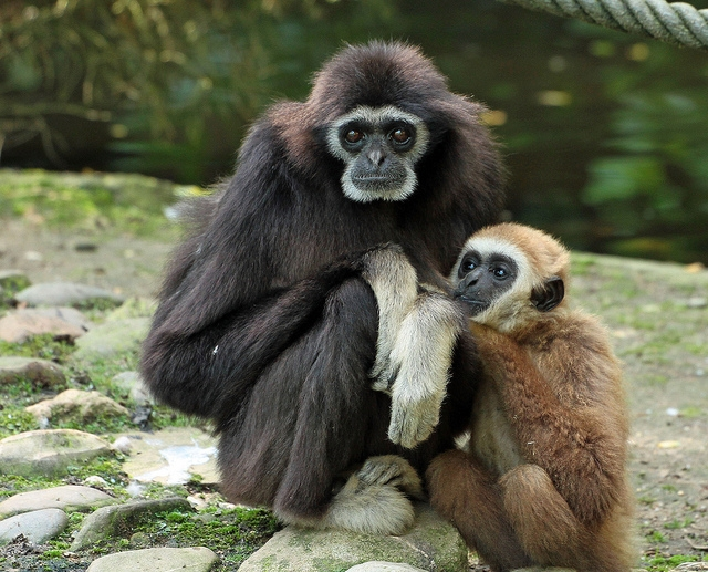 Gibbon-Withandgibbon-Rhenen