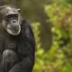 Chimpanzee-2-2