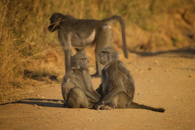 Three Baboons on a road trip