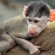 Small Baboon takes a ride on his parents back