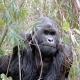 The Mountain Gorilla in the Congo