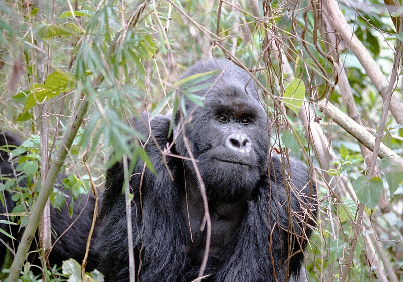 The Mountain Gorilla in the Congo