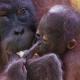 Mum Orangutan holds her child tight