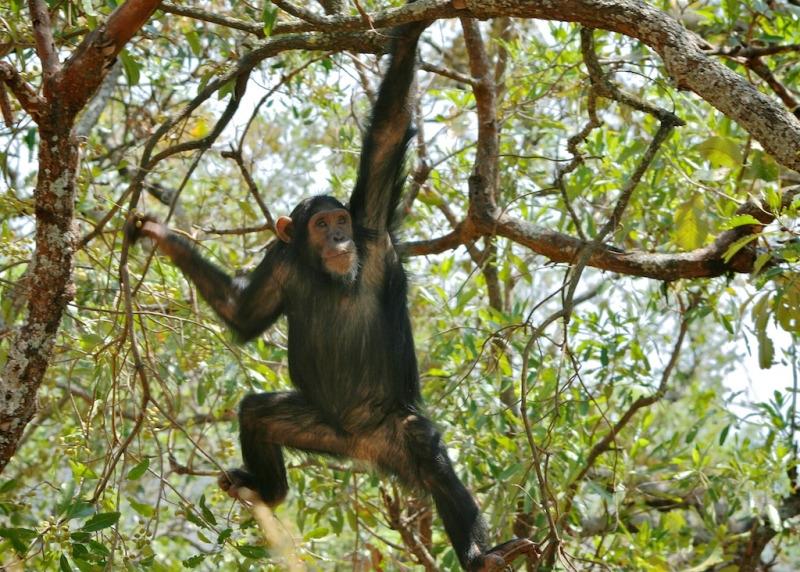 Chimp swinging in Gombe in Tanzania.