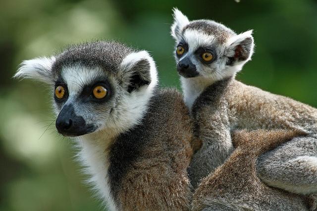 Ringstaartmaki-lemur