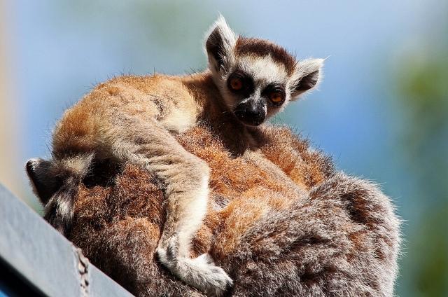 Lemur-Ring-tailed-lemur-Apenheul