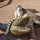 Crocodile-Racing