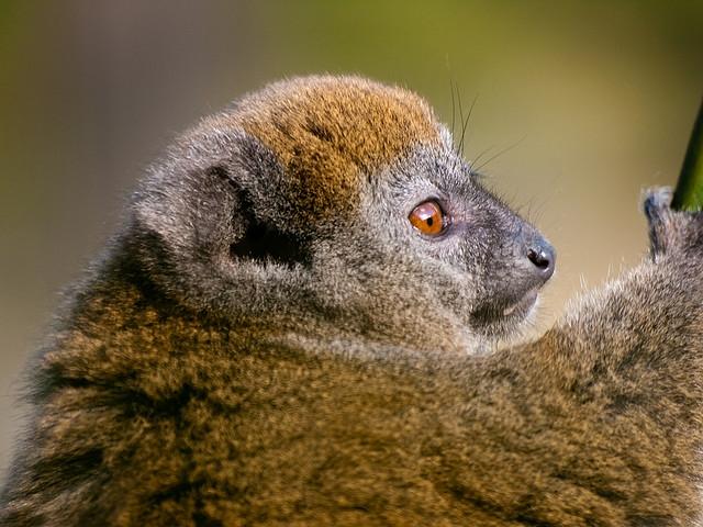 Alaotran-gentle-lemur