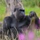 Gorilla Just dreaming  his life away