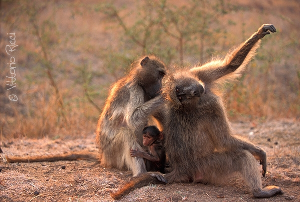 Baboon family having fun