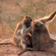 Baboon family having fun
