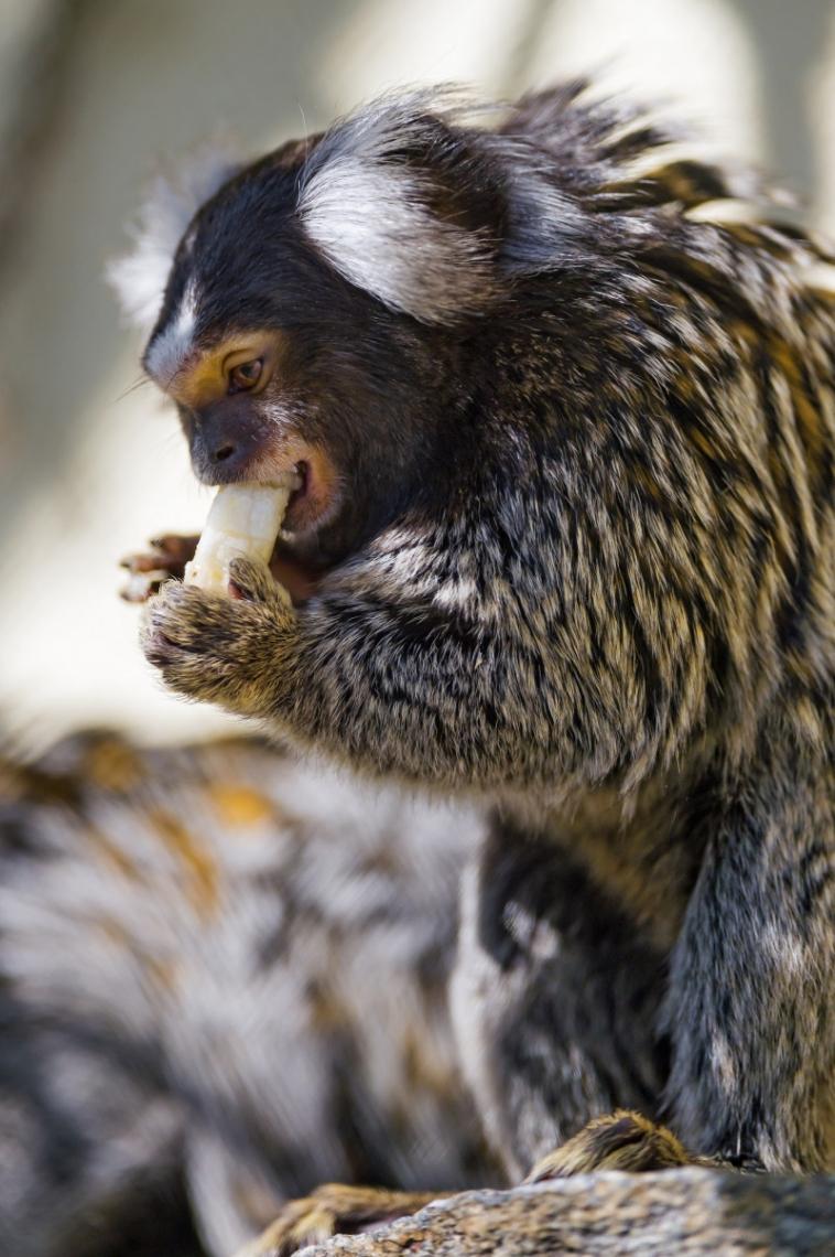 Marmoset eating banana