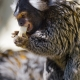 Marmoset eating banana