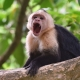 White-faced-Capuchin-Monkey