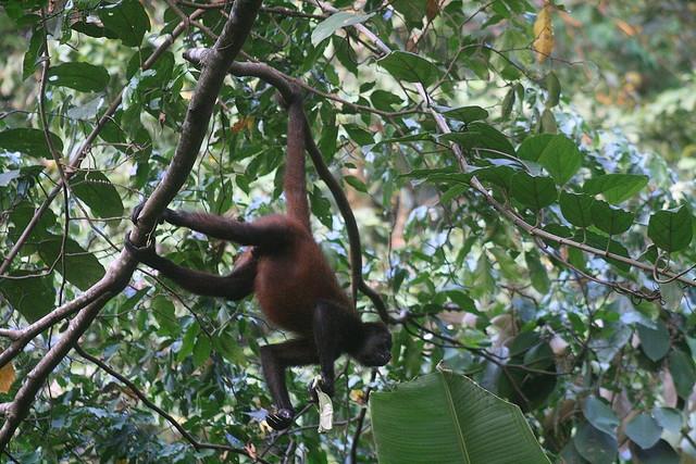 Central-American-Spider-Monkey-1