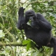 Mountain-Gorilla-Bwindi-Impenetrable-Forest
