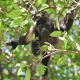 Mantle Howler Monkey watching from a tree