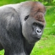 Western lowland gorilla checking us out