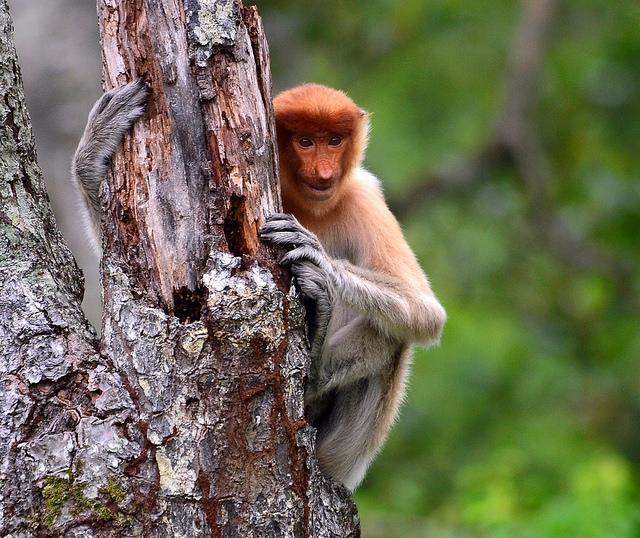 Proboscis-Monkey-hides